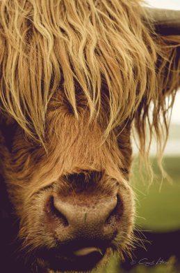 hairy coo, red, Schottland, Scotland, Highlands, Kuh, Hochlandrind