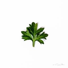 Pelargonie, Natur, Blatt